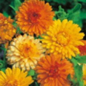 Calendula Princess Orange Black Mr Fothergills Flower 60 Seeds