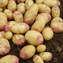 Carolus Maincrop 2kg| Seed Potatoes | Nationwide Delivery