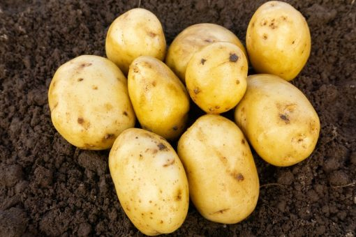 Casablanca First Earlies 2kg  Seed Potatoes   Nationwide Delivery