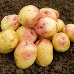 King Edward Maincrop 2Kg| Seed Potatoes | Nationwide Delivery