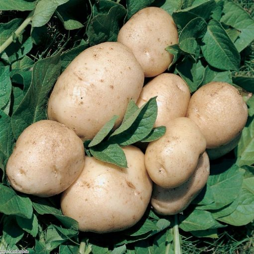 British Queen Second Earlies 2Kg| Seed Potatoes | Nationwide Delivery