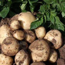 Maris Peer Second Earlies 2Kg| Seed Potatoes | Nationwide Delivery