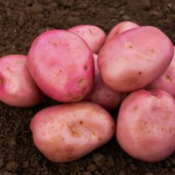 Maxine Maincrop 2kg| Seed Potatoes | Nationwide Delivery