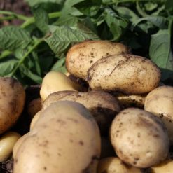 Pentland Javelin First Earlies 2Kg| Seed Potatoes | Nationwide Delivery