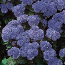 Ageratum Seeds - Blue Mink by Suttons Seeds| 100584| Nationwide Delivery On Flower Seeds