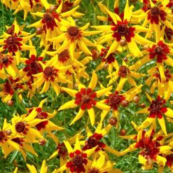 Coreopsis Seeds - Mardi Gras by Suttons Seeds| 110905| Nationwide Delivery On Flower Seeds
