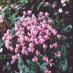 Cyclamen Hardy Seeds - Hederifolium Winter Cheer by Suttons Seeds| 112023| Nationwide Delivery On Flower Seeds