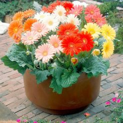 Gerbera Seeds - Cut Flower Mix by Suttons Seeds| 115693| Nationwide Delivery On Flower Seeds