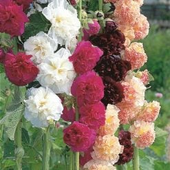 Hollyhock Seeds - Chater'S Mix by Suttons Seeds| 117489| Nationwide Delivery On Flower Seeds