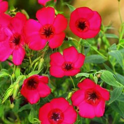Linum Seeds - Red Robin by Suttons Seeds| 119294| Nationwide Delivery On Flower Seeds