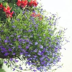 Lobelia Seeds - Monsoon by Suttons Seeds| 119447| Nationwide Delivery On Flower Seeds