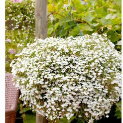 Lobelia Supacoat Seeds - Cascade White by Suttons Seeds| 120124| Nationwide Delivery On Flower Seeds