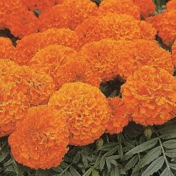 Marigold African Seeds - Space Hopper by Suttons Seeds| 121021| Nationwide Delivery On Flower Seeds