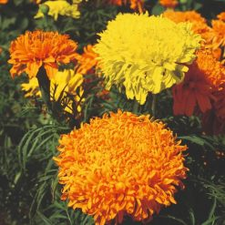 Marigold African Seeds - Fantastic Mix by Suttons Seeds| 121242| Nationwide Delivery On Flower Seeds