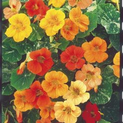 Nasturtium Seeds - Tutti Frutti Mix by Suttons Seeds| 123685| Nationwide Delivery On Flower Seeds