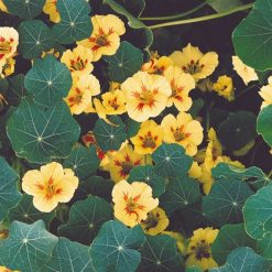 Nasturtium Seeds - Peach Melba by Suttons Seeds| 123847| Nationwide Delivery On Flower Seeds