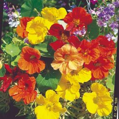 Nasturtium Seeds - Tropical Mix by Suttons Seeds| 124133| Nationwide Delivery On Flower Seeds