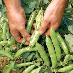Broad Bean The Sutton P&P by Suttons Seeds| 142000| Nationwide Delivery