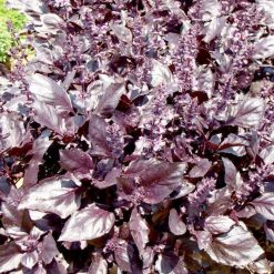 Basil Round Midnight P&P by Suttons Seeds| 142019| Nationwide Delivery