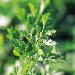 Parsley Plain Leaved 2 P&P by Suttons Seeds| 142039| Nationwide Delivery
