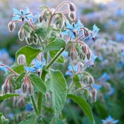 Borage P&P by Suttons Seeds| 142043| Nationwide Delivery