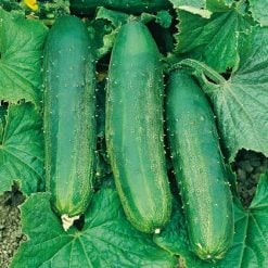 Cucumber Bush Champion by Suttons Seeds| 162490| Nationwide Delivery