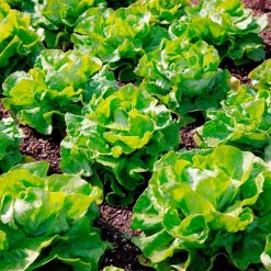 Lettuce Unrivalled by Suttons Seeds| 167886| Nationwide Delivery