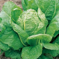 Lettuce Lobjoits Green Cos by Suttons Seeds  169208  Nationwide Delivery