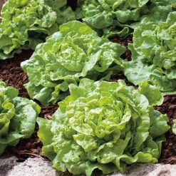 Lettuce Tom Thumb by Suttons Seeds| 169430| Nationwide Delivery