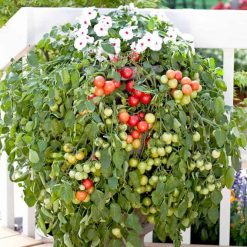 Tomato Cherry Falls by Suttons Seeds| 180558| Nationwide Delivery