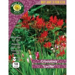 Crocosmia Croc. 'Lucifer' | CCLPP | Summer Bulbs Nationwide Delivery