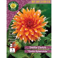 Dahlia Deco. 'Colour Spectacle' | DCSPP | Summer Bulbs Nationwide Delivery