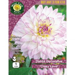 Dahlia Decorative 'Crazy Love' | DDCLPP | Summer Bulbs Nationwide Delivery