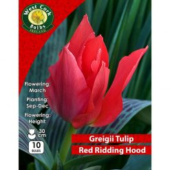 Tulip Dwarf Little Red Riding Hood Prepack 10 Bulbs | TLRPP | Spring Bulbs Delivered